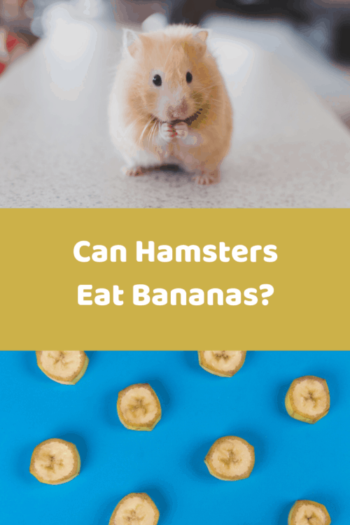 Tan hamster standing on countertop above sliced bananas on a blue background