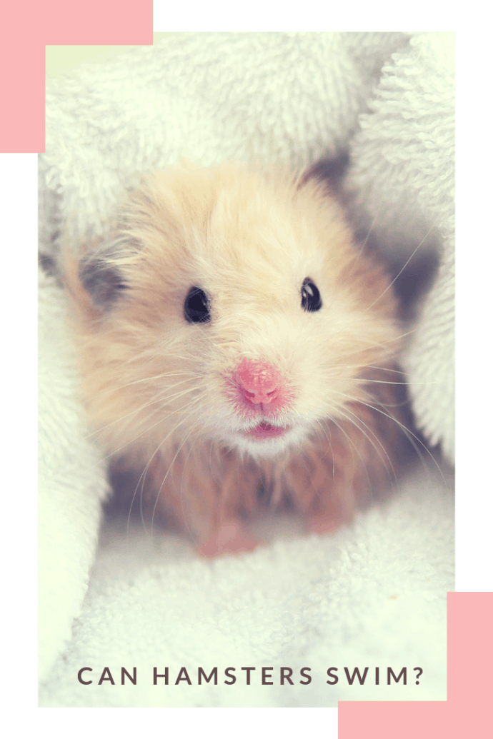 adorable young hamster with fluffy hair wrapped in a towel