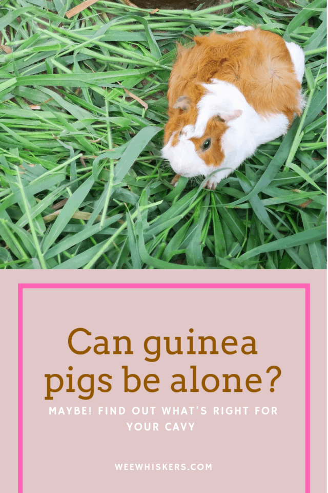 "Guinea pig standing on green grass with title ""can guinea pigs be alone?"""