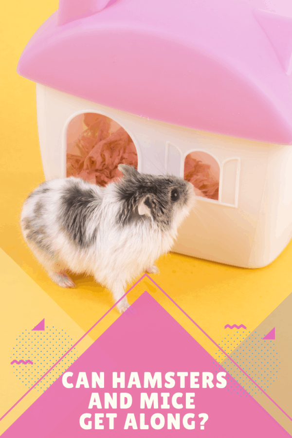 two toned hamster in front of a white house with a pink roof on a yellow background