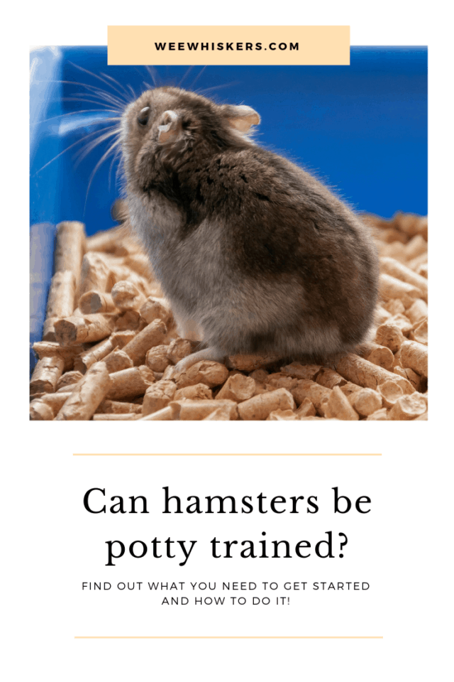 dark grey hamster standing on litter pellets in a blue cage
