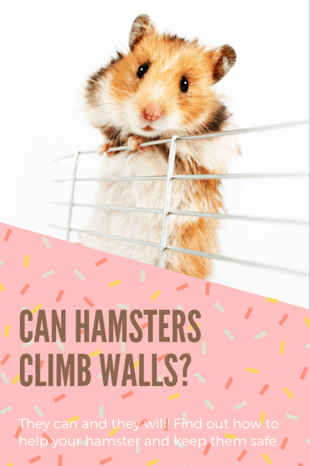 Tricolored hamster climbing wire cage bars in front of white background with text can hamsters climb walls