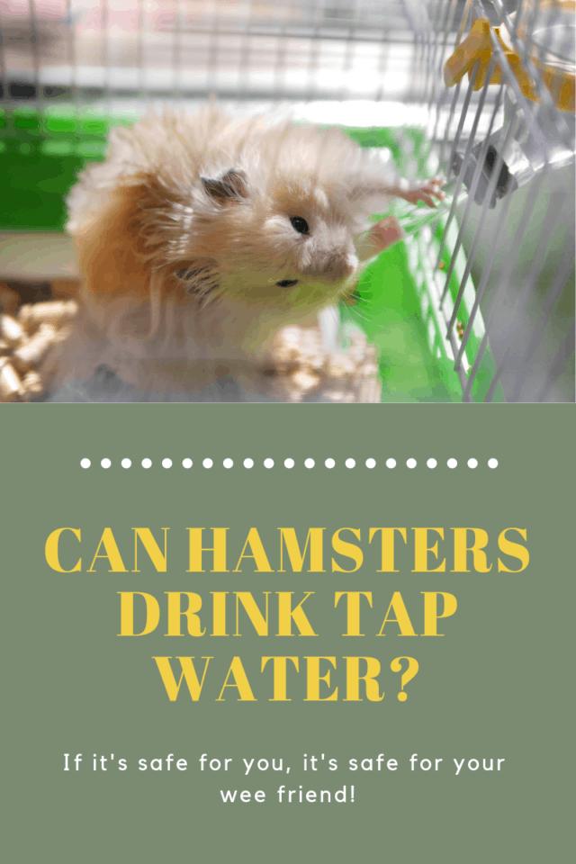 light tan hamster drinking from water bottle
