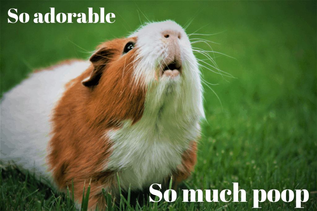 White and tan guinea pig standing on green grass with text, So Adorable. So much poop