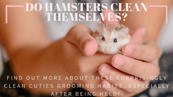 Tan , grey , and white hamster being held by child