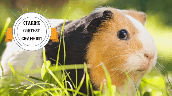Black and Tan Guinea Pig sitting in the grass