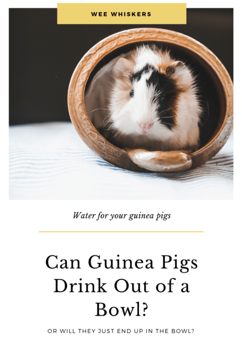 Playful guinea pig in a tipped over ceramic bowl