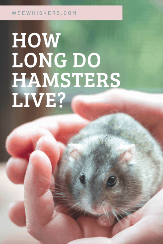 grey hamster sitting in the palms of a boy's hands