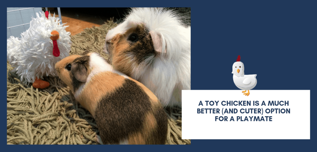 Two tricolored guinea pigs looking at a stuffed toy chicken