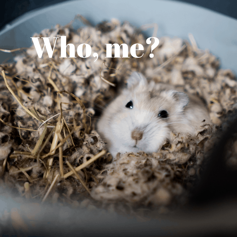 Tan hamster burrowed in bedding looking out with text, Who, me?