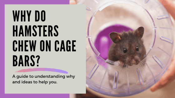 "Black and white hamster peeking out of clear and purple exercise ball with text ""Why do hamsters chew on cage bars?"""