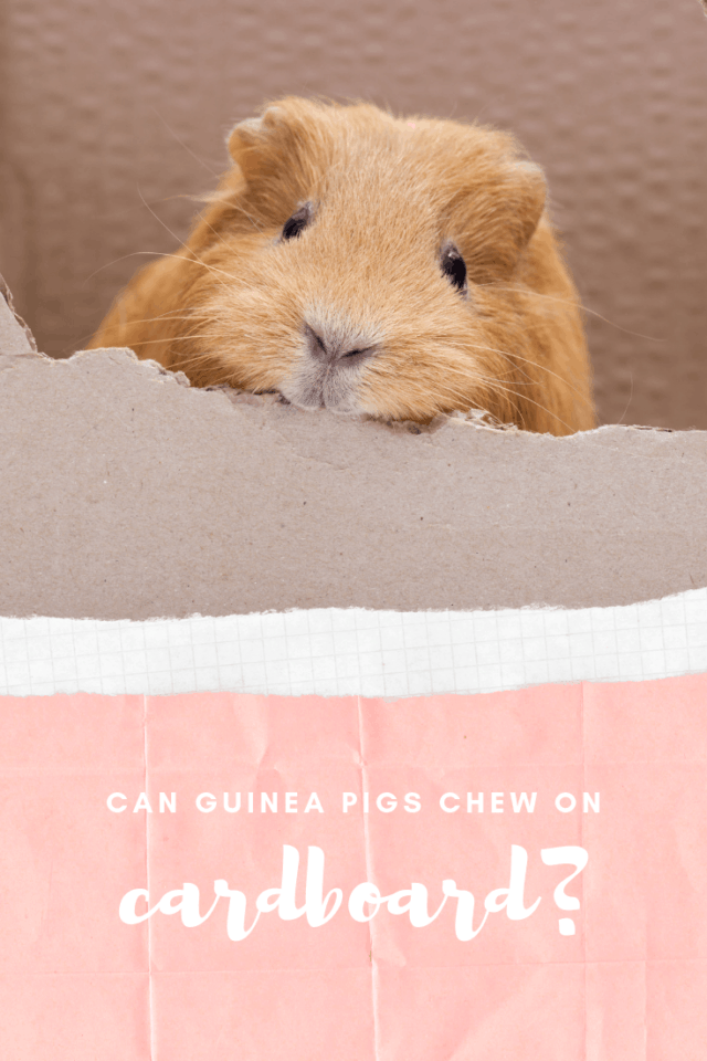"tan guinea pig chewing on cardboard box with text ""can guinea pigs chew on cardboard?"""