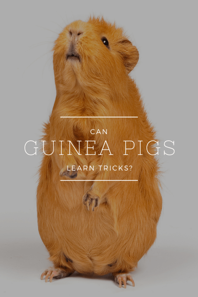 "guinea pigs standing on his legs in front of a white background with text ""can guinea pigs learn tricks?"""