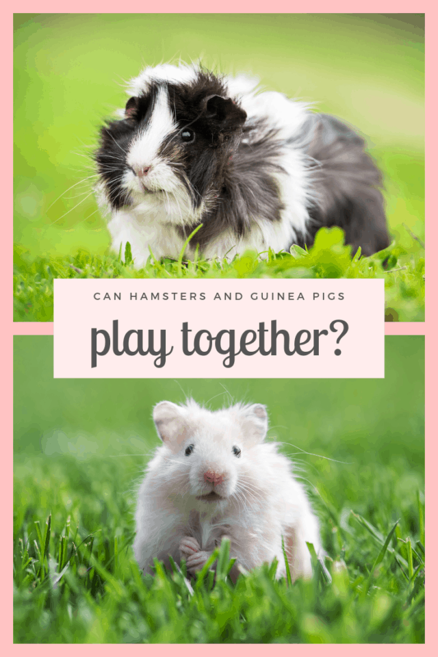 photo of a black and white long haired guinea pig on a lawn over a photo of a light tan hamster on a lawn with text can hamsters and guinea pigs play together?