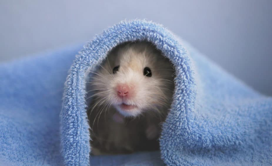 Little tan hamster in a blue towel