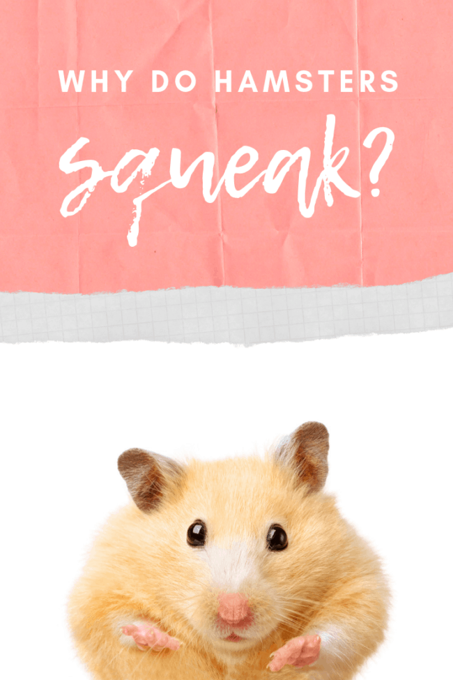 tan hamster in front of white background with text why do hamsters squeak