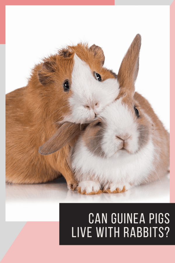 "two-tones guinea pig resting it's face on a try-toned mini rabbit's face in front of a white background with text ""can guinea pigs live with rabbits?"""