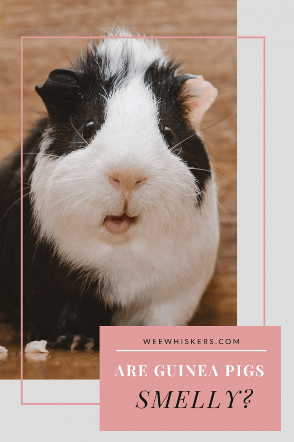 black and white guinea pig facing forward with its mouth hanging open