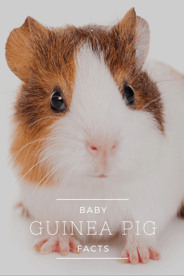 "close up of cute guinea pig baby in front of white background with text ""baby guinea pig facts"""