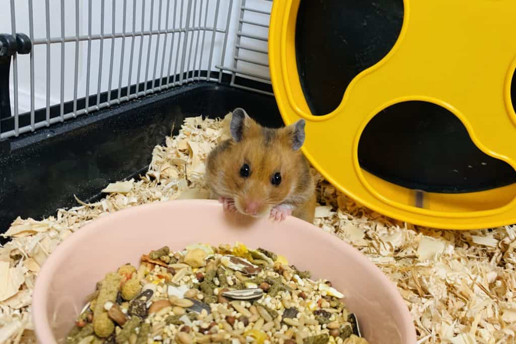 A tan hamster looking up with its paws on the edge of a pink bowl with hamster food inside a hamster cage